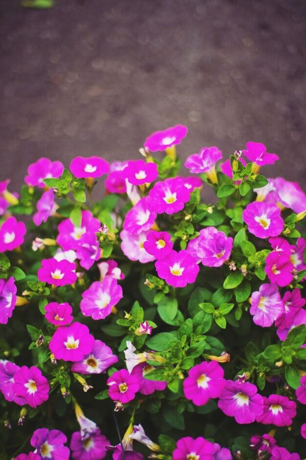 morning Glory plant for good energy
