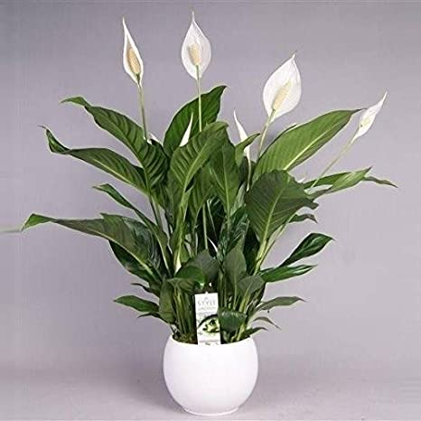 peace Lily a plant for positive energy