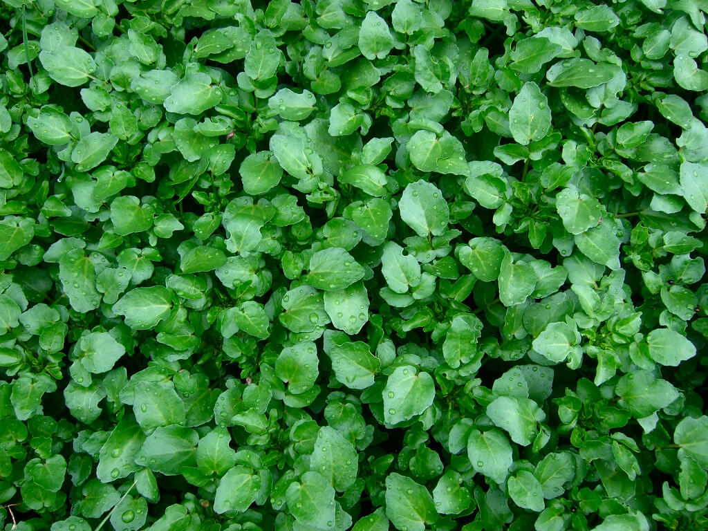 Watercress herb for anti aging