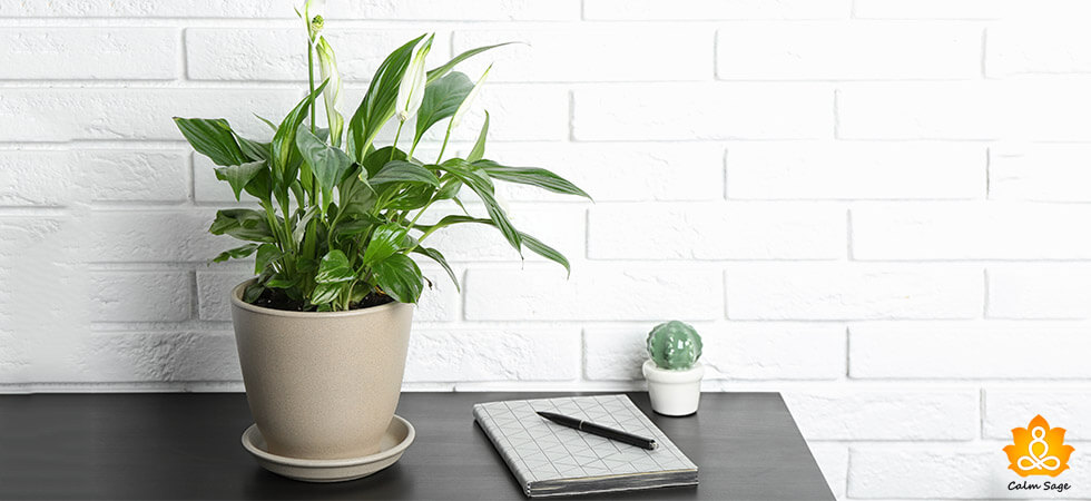 Peace Lily Plant GUIDE