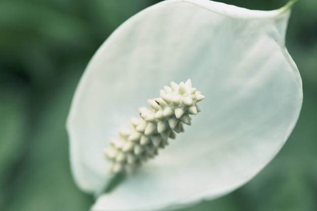 Types of Peace Lily Plants