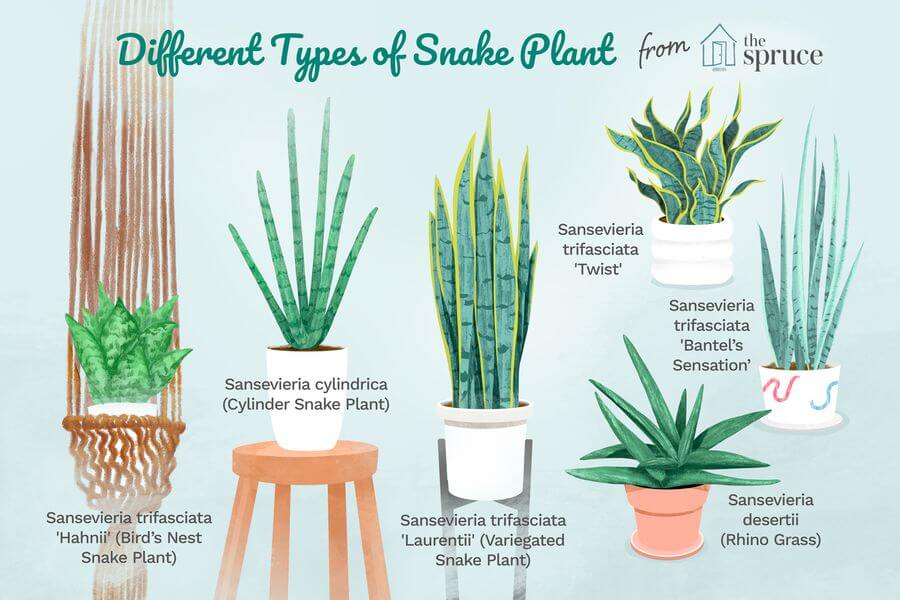 Types of Snake Plants