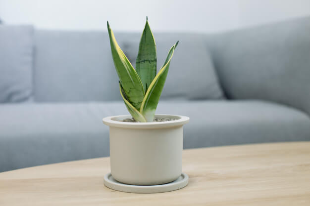 Benefits of Snake Plants