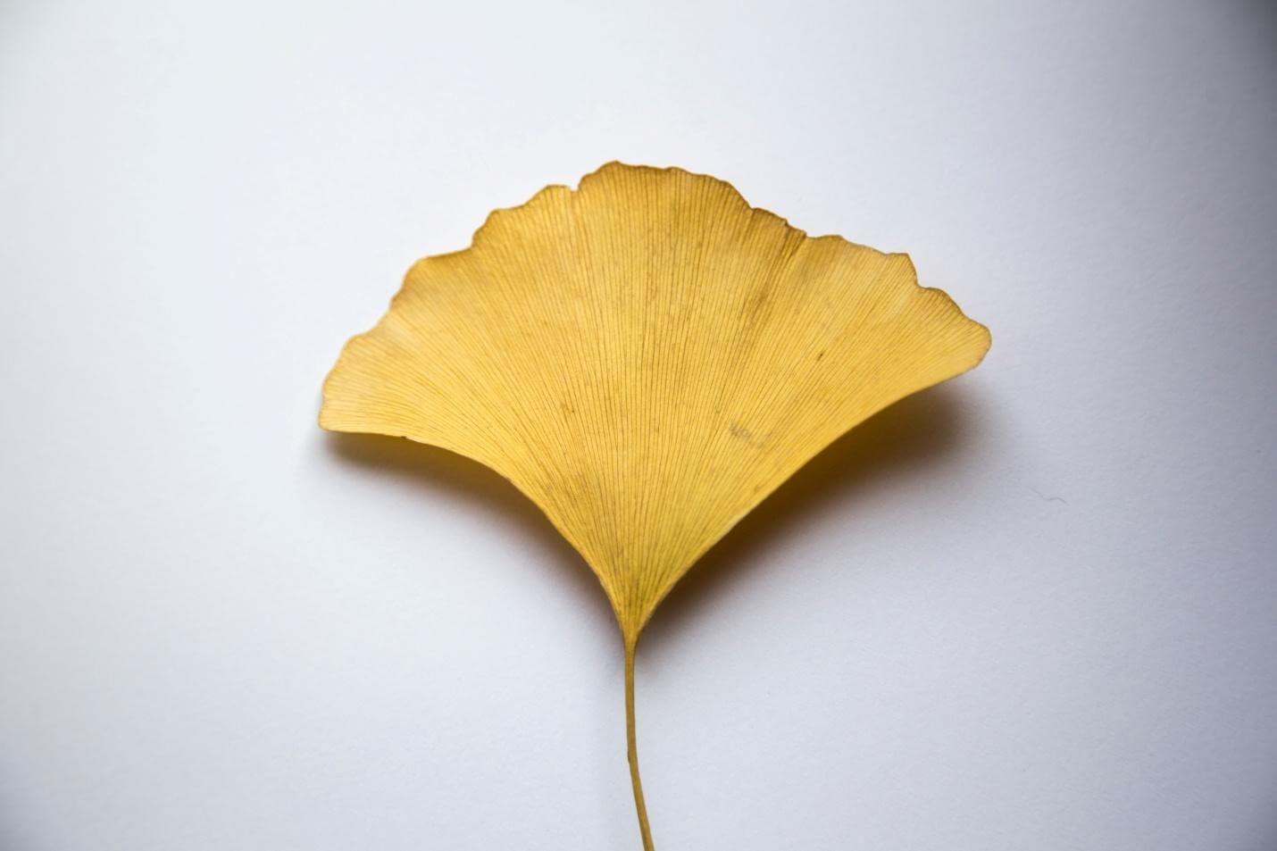 Ginkgo, types of medicinal plants